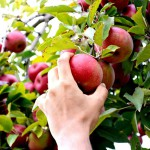 A foodie's travelogue #2 – Apple Picking at Ellijay, Georgia