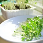 Microgreens – 5 times the goodness of a full-grown plant