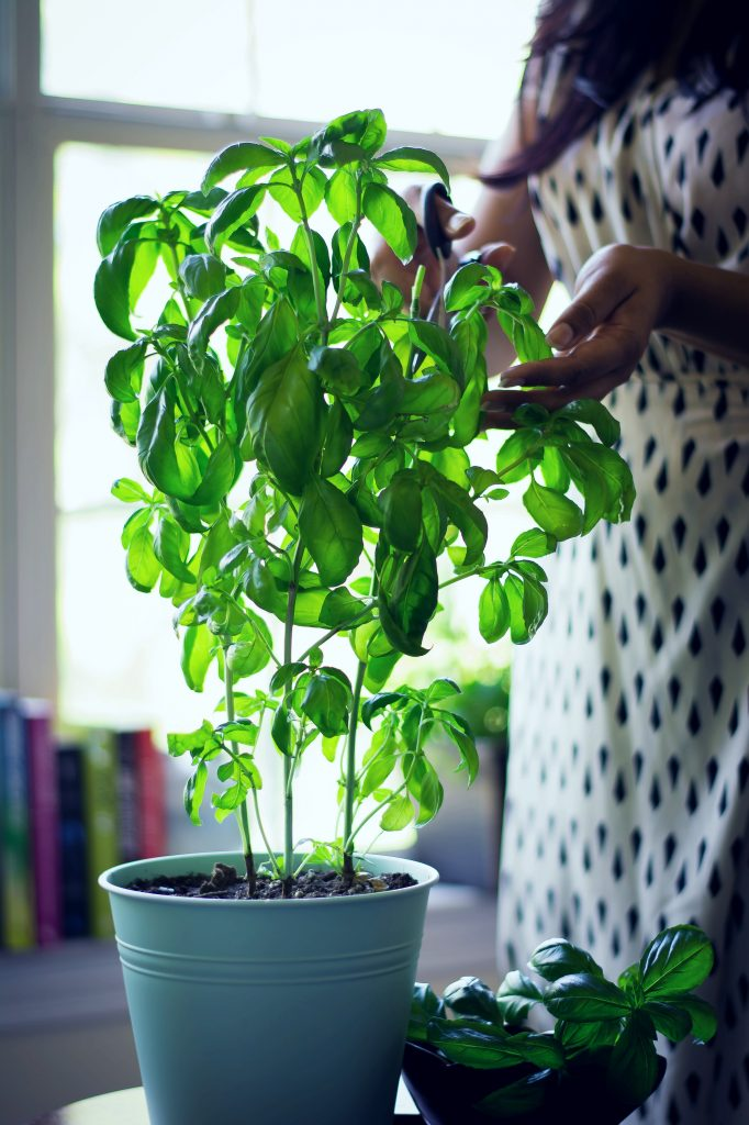 If you have a surplus of Basil in your home garden, after you've had your fill of pesto, dry them for refreshing, homemade Basil Tea!